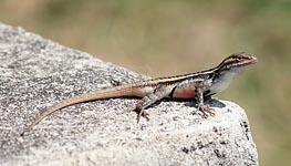 texas_rosebellied_lizard_rock_macro small